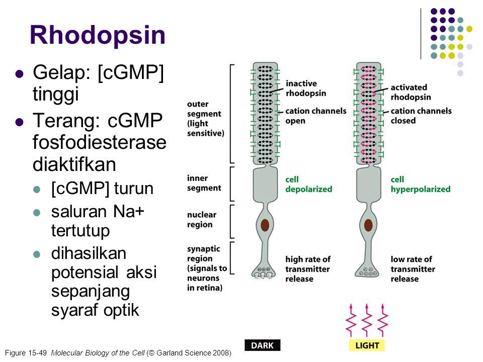 Rhodopsin Gelap: [cGMP] tinggi Terang: cGMP fosfodiesterase diaktifkan